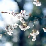 Flowers Cherry Blossoms Petals  - shell_ghostcage / Pixabay